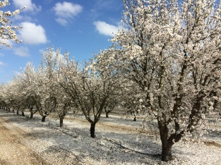 Cortijo El Guarda Almonds Flowering